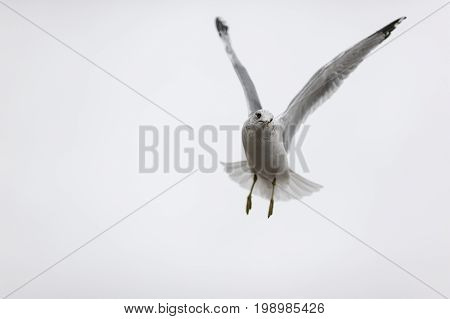 Hovering intent Ring-billed Gull with wings high