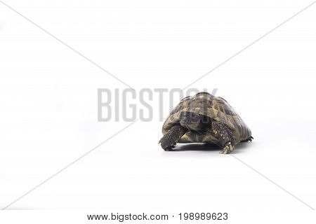 greek land tortoise Testudo Hermanni white studio background