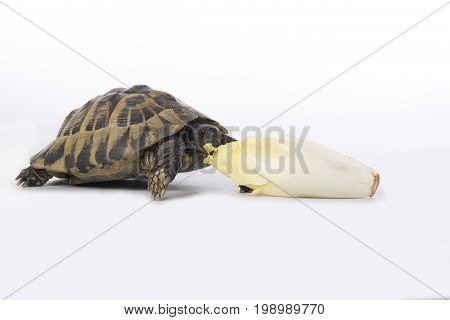 Greek land tortoise Testudo Hermanni eating chicory white studio background