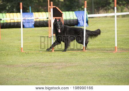 Dog Belgian Shepherd Groenendael weave poles agility