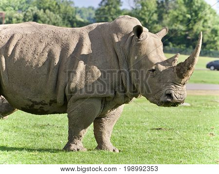 Isolated Picture With A Rhinoceros Standing Awake