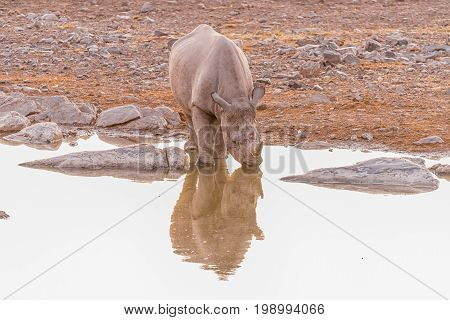 A black rhinoceros Diceros bicornis drinking water at a waterhole in Northern Namibia after sunset. Its reflections is visible on the water