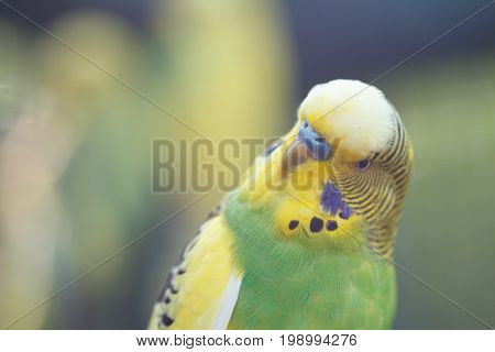 A green wavy parrot close-up. Australian parrot on the nature.