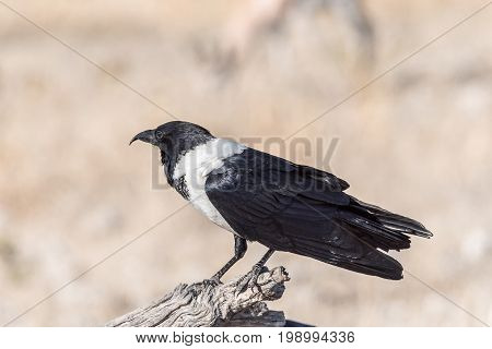 A pied crow Corvus albus on a dead tree branch in Northern Namibia