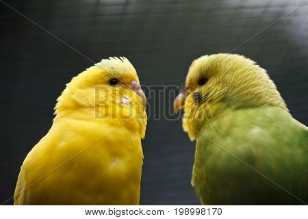 A pair of wavy parrots. Two enamored parrots look at each other. Exotic birds in nature.