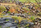 Wildebeest having just crossed the turbulent Mara River in Kenya Africa poster