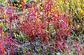 Drosera indica Linn.flower blooming outdoor in the Mukdahan Nation Park Thailand. poster