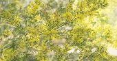 Australian native acacia tree Brisbane or Fringed Wattle in full yellow fluffy flowers in winter and spring for a floral background in panorama form poster