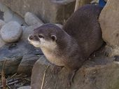 A Oriental Small clawed Otter at Paradise Wildlife Park. poster