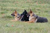 Three German shepherds laying in a grass poster