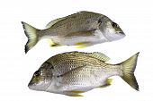 The yellowfin bream Acanthopagrus australis is a marine and estuarine fish with yellowish pelvic and anal fins mostly with a silver body. poster