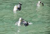Seagulls bathing poster