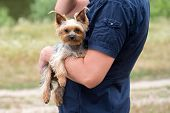 Portrait of cute Yorkshire Terrier Dog on male hand in summer outdoors. Man in shirt with yorkie on hand poster