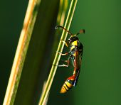 Tropical insect in nature. Thread-waisted wasp on palm leaf. Unusual exotic tropical wasp. Natural pollinator on tropical leaf. Yellow red wasp in sunlight. Exotic insect in nature. Tropical threat poster