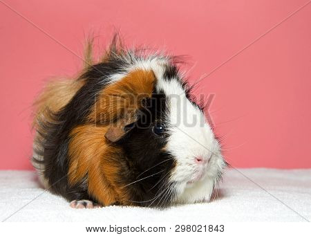 Portrait Of A Calico Colored Guinea Pig. In Western Society, The Domestic Guinea Pig Has Enjoyed Wid
