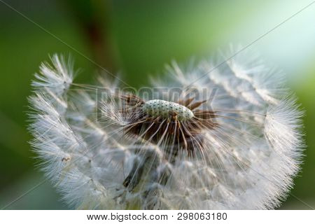 Blowball in Spring sunny meadow. Natural  background.