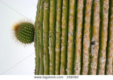 Cactus Ramification