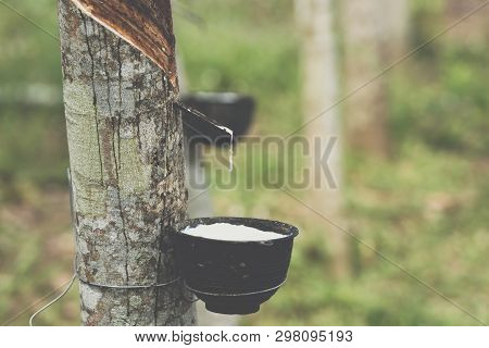 Rubber Tree With Natural Rubber Drop At Plantation
