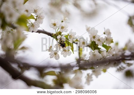 Flora Spring Season Black Cherry Blossoms Branch Twig