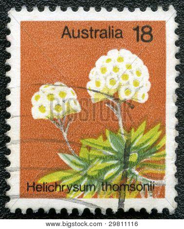 Australia - Circa 1975: A Stamp Printed In Australia Shows Helichrysum Thomsonii, Circa 1975