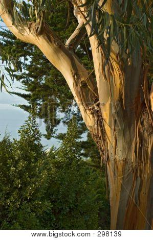 San Francisco Eukalyptus