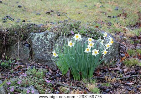 Daffodils Bloom Against A Rocky Hillside In Rural Kentucky In The Early Spring.