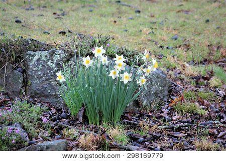 A Bunch Of Daffodils Bloom On A Rocky Hillside In Rural Kentucky.