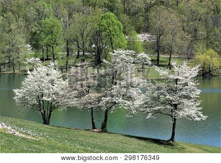 A Trio Of Dogwood Trees Bloom On A Hillside At Vastwood State Park In Kentucky.