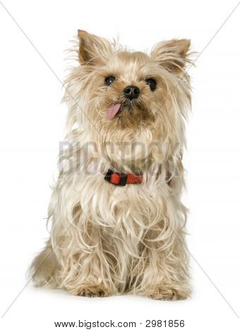 Yorkshire Terrier (13 Years)