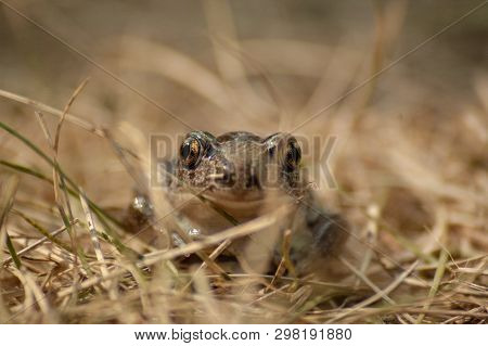 A Small Garlic Toad Sits In The Grass And Looks Into The Camera