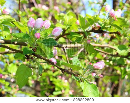 Pink Buds On Branch Apple Tree In Spring Garden With Blurred Natural Background. Beautiful Flowering