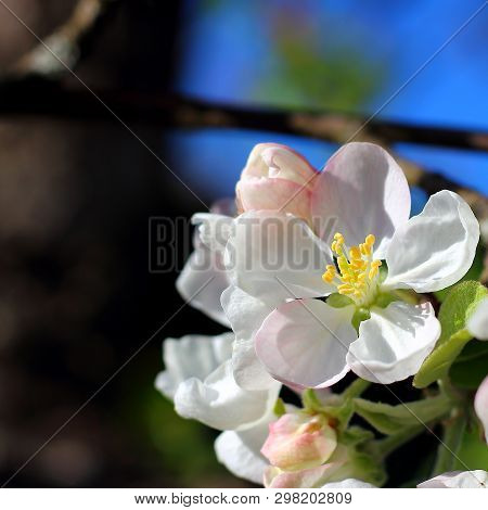 Gentle White Flower On Apple Tree Blossoms In Spring Close-up