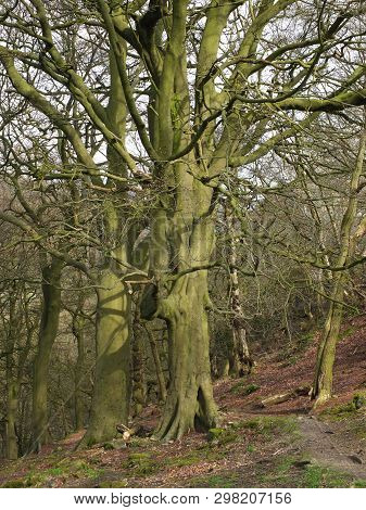 A Rocky Hillside Path On Hillside Woodland With Tall Early Spring Beech Trees In Crow Nest Woods In