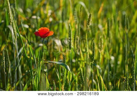Poppy Blooming Among Young Green Cereals Sunny Day