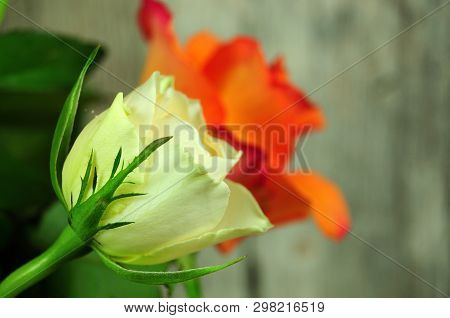 Cream Colored Rose Blossom In A Bunch With Green Sepals
