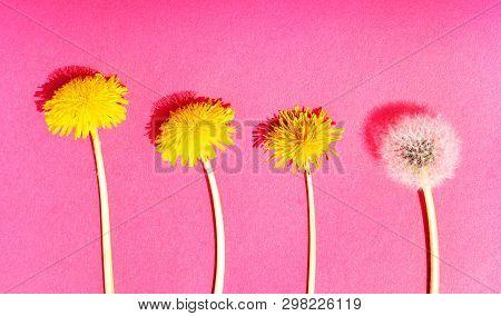 Stock Photo Macro Photo Of A Dandelion Plant Dandelion With A Fluffy Yellow Bud Yellow Dandelion Flo