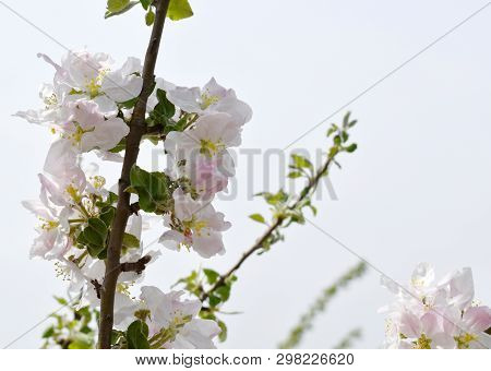 Stock Photo Spring Flowers Beautifully Blossoming Tree Branch With A Natural Colored