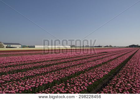 Countless Thousands Of Pink Tulips In A Row With Their Flowers Facing The Blue Sky