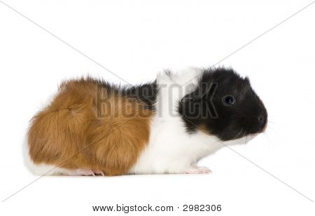 guinea pig in front of a white background poster