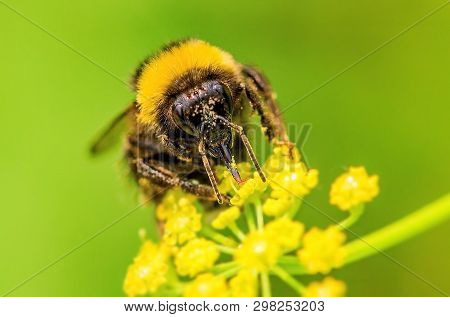 Bumblebee (lat. Bombus). Closeup. Insect From The Family Of Real Bees (lat. Apidae), In Many Respect