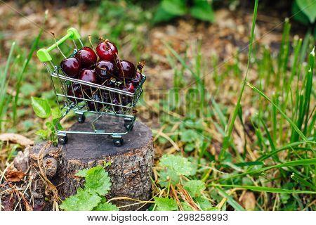 Mini Shoppingcart Full Of Fresh Red Ripe Cherries On Green Background