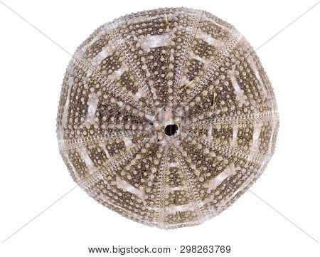 Sea Urchin Shell Isolated On A White Background With Clipping Path