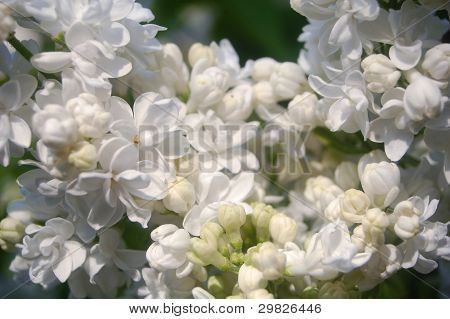 white flower lilac