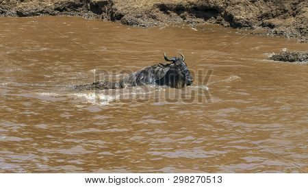 A Wildebeest Struggles To Free Itself From The Jaws Of A Crocodile