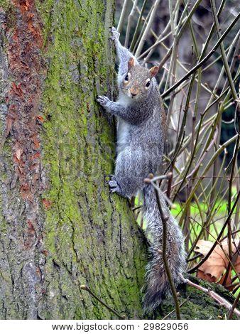 a pretty squirrel look  into the camera poster