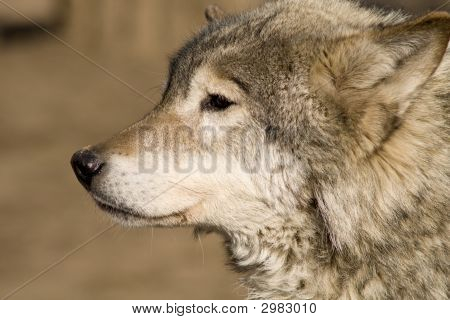 Wolf Waiting For A Prey