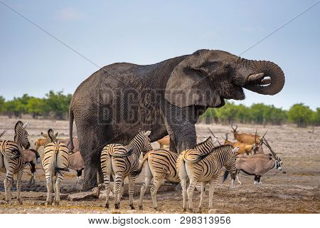 African Elephant Drinks Water At A Waterhole In Etosha National Park, Namibia, Surrounded By Zebras.