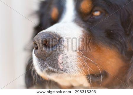 Dog Face Close-up,nose Bernese Mountain Dog Close To The Lens