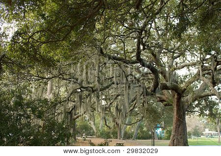 Oak Tree in a Park
