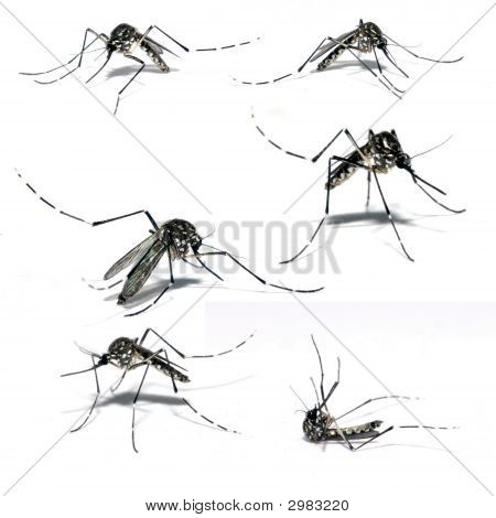 Aedes Aegipty